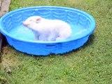 Ce cochon prend du plaisir dans sa piscine comme un petit barjo