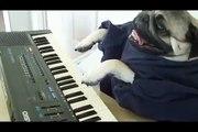 ★ PERRO TOCANDO EL PIANO! - Perros Locos Humor Divertidos Chistosos risa