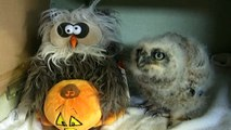 Bebek Baykuş Cadılar Bayramını Dans Eşliğinde Şarkı Söyleyen Oyuncak Baykuş ile Kutluyor