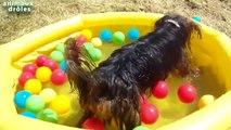 Chiens drôles jouer au ballon dans la piscine Compilation 2014