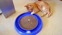 El Mejor Juguete Para Gatos ★ humor gatos - video divertido gatos chistosos risa gato