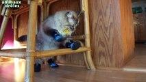 Chats drôles dans Chaussures Chats port de bottes dans la première fois Compilation 2014