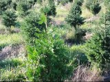 Green Giant Arborvitae Vs Norway Spruce Trees