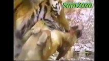 Pit bull vs tiger, vs leopard. Mountain lion vs dog Fight. Wild animals hunting pitbull