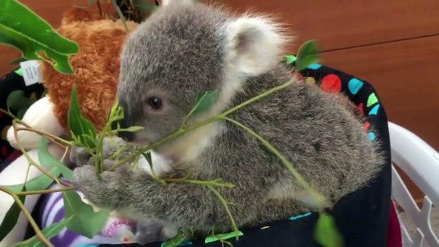 koala joeys most adorable home video of all time