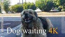 Dog waiting / Cachorro esperando / 4K. UHD. 2160p