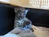 ♡ Pequeño Tigre Hermoso MUY TIERNO ♡ Miralo! Para Derretirse. Mejores videos de gatos felinos