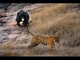 Bear Attack, Animal Fighting Videos Compilation