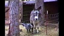 Cabra, burro, cerca, liberdade. Inteligente cabra superar obstáculo
