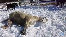 Cavalos brincar na neve. Esporte de inverno cavalo engraçado