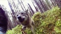 Un chien de chasse est attaqué par deux loups