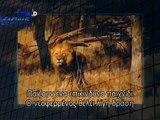 Lion kills Cheetah Lion kills Leopard Lion vs Leopard 2013 Most Dangerous Battle Best Wild Ani