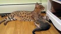 Chat et chaton Asher race différente. Fun avec des chats