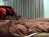 Le chaton a sauté sur une couverture. Drôle chaton joue avec le propriétaire