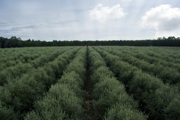 Olive farming in Pakistan - 1