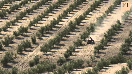 Olive farming in Pakistan - 2