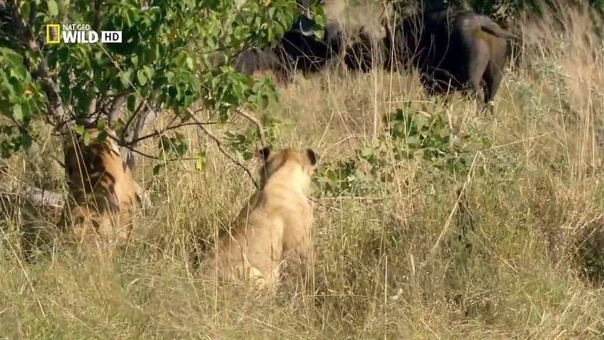 Botswana Lion Wild discovery channel animals National Geographic documentary Animal planet