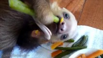 Funny Sloth - Cute and Adorable Baby Sloth | Best Video 2015