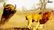 Lion Documentary National Geographic - THE EXPERT KILLERS - Lion VS. Buffalo