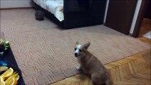 Un petit chien effrayé par un lapin se fait pipi dessus