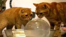 Kediler ve buz topu. Buz topu Komik kediler, kedi ve yavru kedi