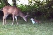 Kedi ve geyik, yabancılarla toplantı. Serin ve komik kedi geyik