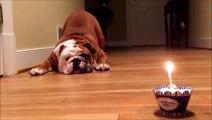 Un bulldog effrayé par son gateau et sa bougie d anniversaire... hilarant
