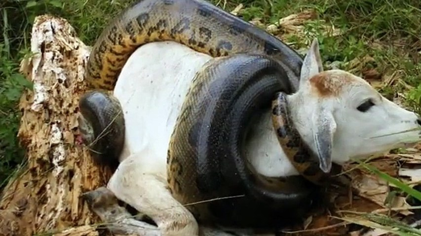 Giant Anaconda attacks Cow
