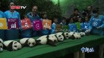 Buzz : Naissances de 12 bébés pandas en Chine. ( Six Giant Panda twins presented in Chengdu ) !