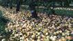 Ramassage des pommes à cidre aux vergers de la justais