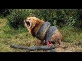 Lion vs Great Anaconda - Real Fight