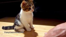 The best of 2016 Cute Kitten wants to become a manicurist - Funny Cats