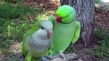 Did You Ever See A Parrot Flirt_ Now You Can.....You Wont Believe What This Parrot Say To His Lady! Awsome Video