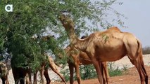 Mapping The Desert With Googles Street View Camel Cam Animals World