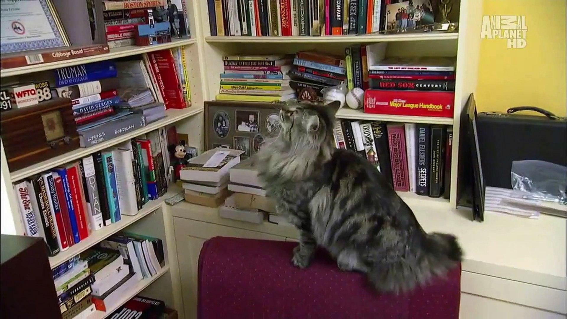 Невская маскарадная кошка (сибирский колор-пойнт) опис