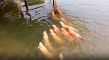 Köpekler Sahibinin Peşinden Göle Atladı