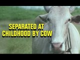 Separated At Childhood By Cow