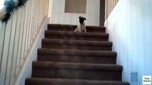 Escaliers pour les chiots. Funny dog sur les escaliers