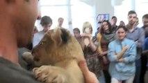 Je adore le petit lionceau. Lion drôle baisers et des caresses propriétaire