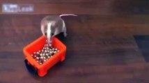 Rat décore l'arbre de Noël. drôle rat