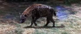 Watch Exclusive Video How Smart Duck Saves Its Little Ones From A Hyena