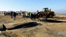 Six baleines s'échouent sur une plage de Calais