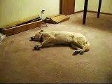 Bizkit the Sleep Walking Dog Laugh your heart