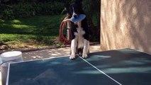 Un chien joue au ping pong