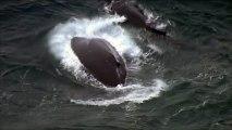 Un bébé baleine à bosse sauvé des filets antirequin au large de l'Australie