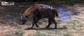 Mother duck out smarts Hyena