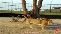 Arab and Lion - who wins -