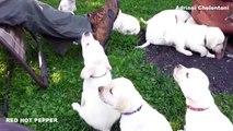 Смешные собаки и дети 2015 СМЕШНЫЕ СОБАКИ 2015 Смешные Собаки Приколы TOP 10 # 215