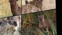 Documental de Leones WILD National Geographic Documentales Matar o Morir