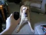 Perro Se Pone Loco Con El Telefono ★ Perros Locos Humor Divertidos Chistosos risa